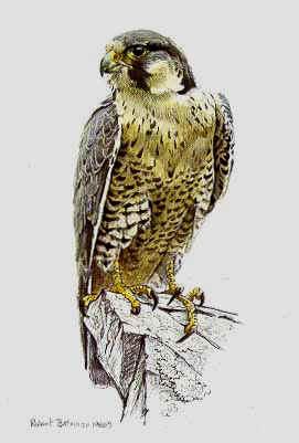 the peregrine falcon essay