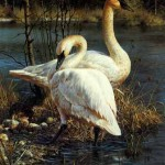 brenders-whiteelegance-trumpeterswans.jpg