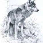 brenders-wolfstudy.jpg